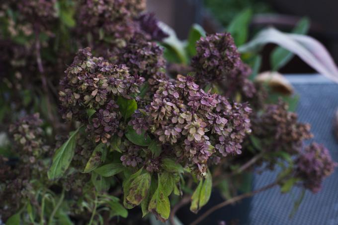 tajka-bazylia-kwiaty